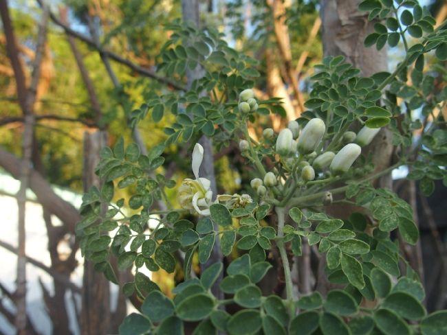 Dal Madagascar: Moringa oleifera (Moringaceae)