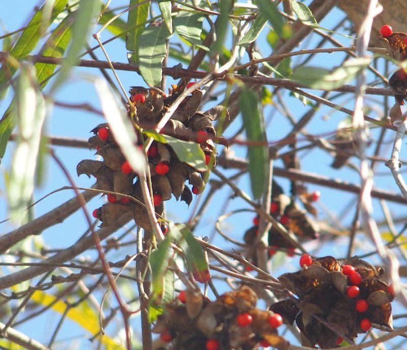 Dal Madagascar: Abrus precatorius (Fabaceae)