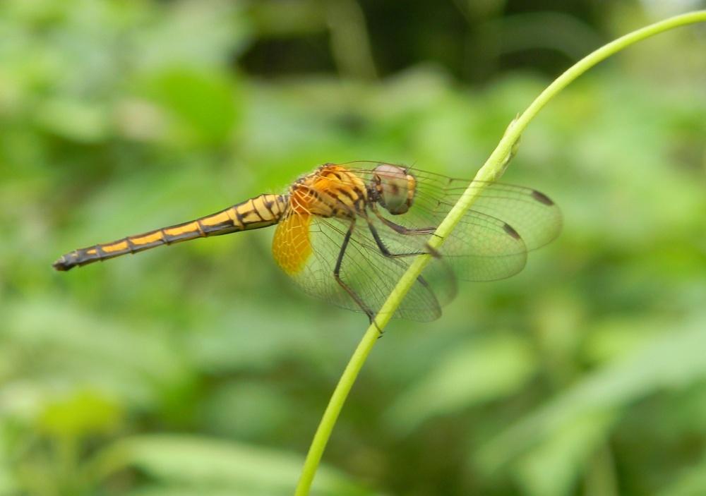 Vietnam - Libellulidae  - Trithemis aurora?  Sì !
