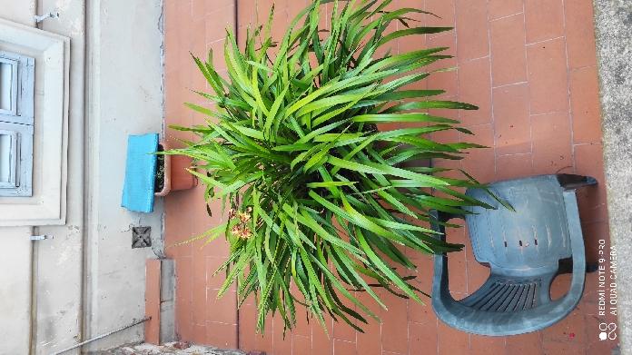 ibrido di Cymbidium (Orchidaceae)