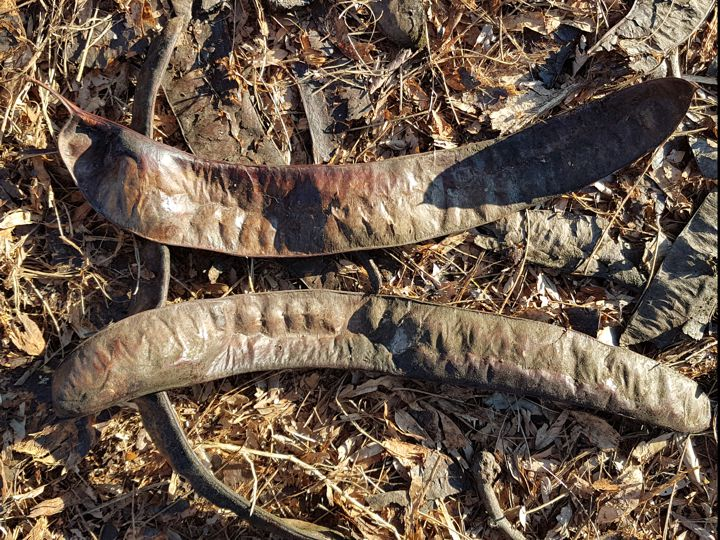 Albero con lunghi baccelli: Gleditsia triacanthos (Fabaceae)