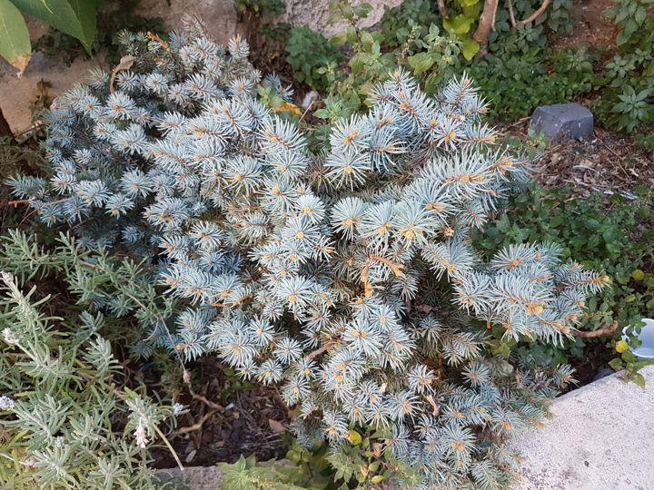 Picea pungens ''Glauca Globosa''