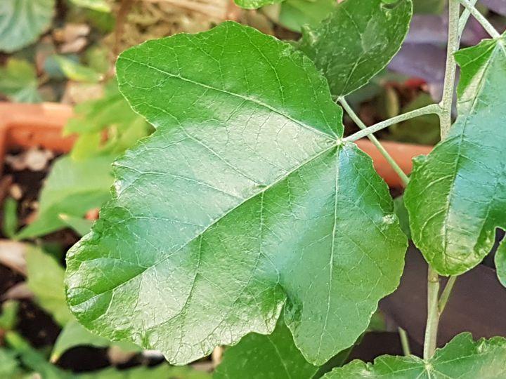 Alberello in giardino: Populus alba