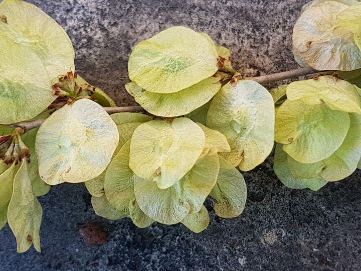 Albero in fiore o in frutto?  Ulmus pumila (cfr.) in frutto