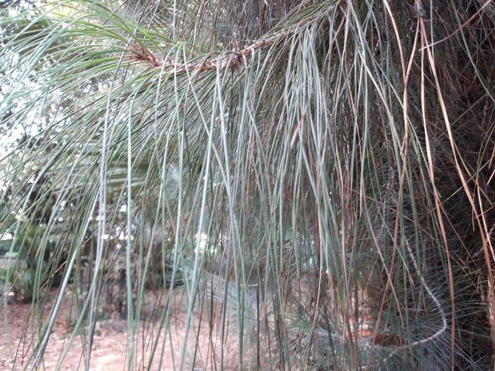 Pinus canariensis o Pinus radiata? Pinus canariensis