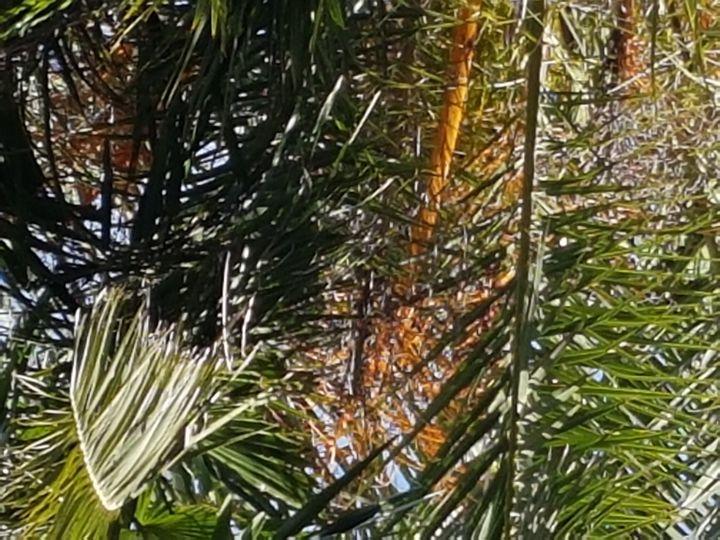 Ibrido di Phoenix dactylifera