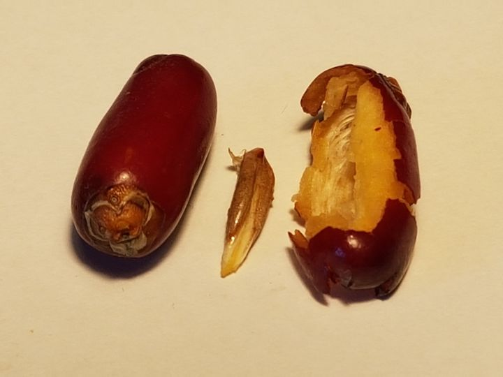 ibrido Phoenix dactylifera x P. canariensis