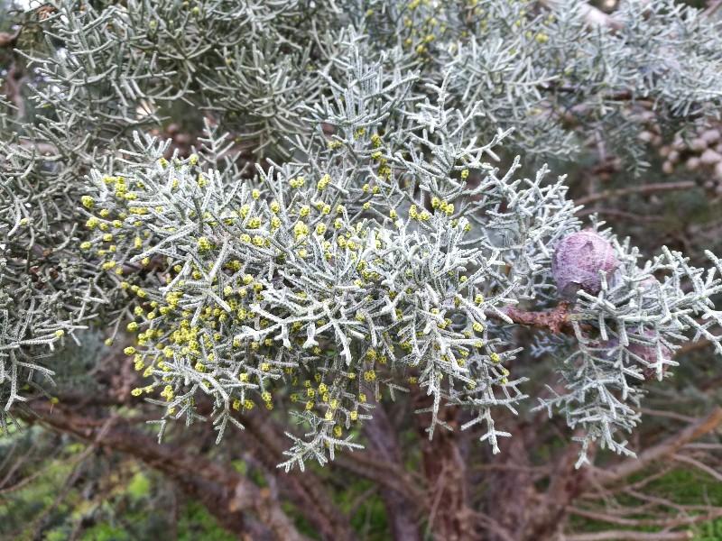 Cupressus argentea? Cupressus arizonica var. glabra