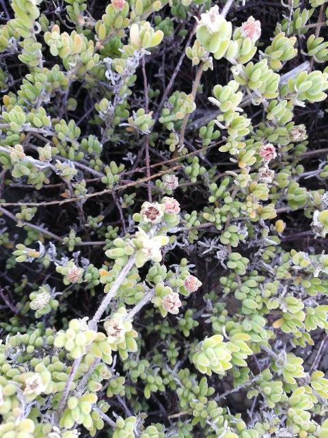 Drosanthemum floribundum (Aizoaceae)