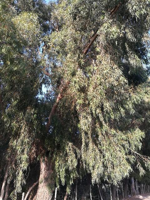 Eucaliptus quale specie?  Eucalyptus gomphocephala