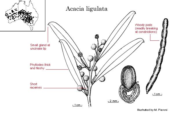 Dall''Australia (WA):  Acacia  ligulata