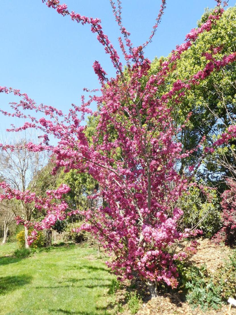 cv di Prunus sp. (ciliegio ornamentale giapponese)