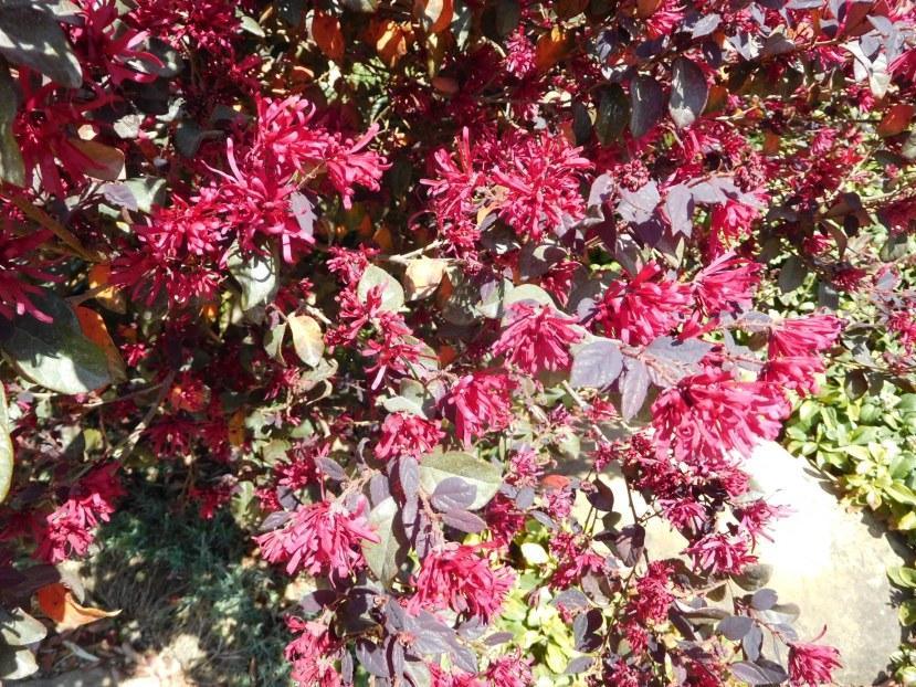 Loropetalum chinense (Hamamelidaceae)