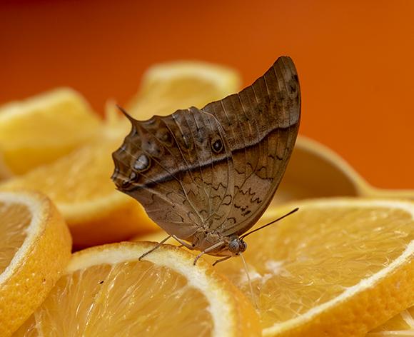 Farfalla esotica:  Charaxes cfr. varanes (Nymphalidae)