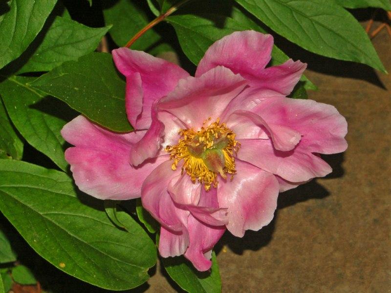 Una pianta con dei grandi fiori rosa paeonia mascula forum