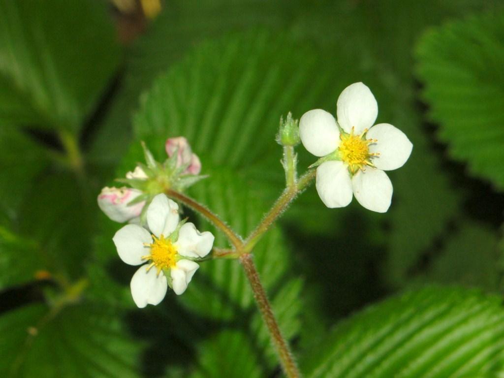 Dei piccoli fiori bianchi -Fragraria sp. (Rosaceae) , Forum Natura Mediterran...