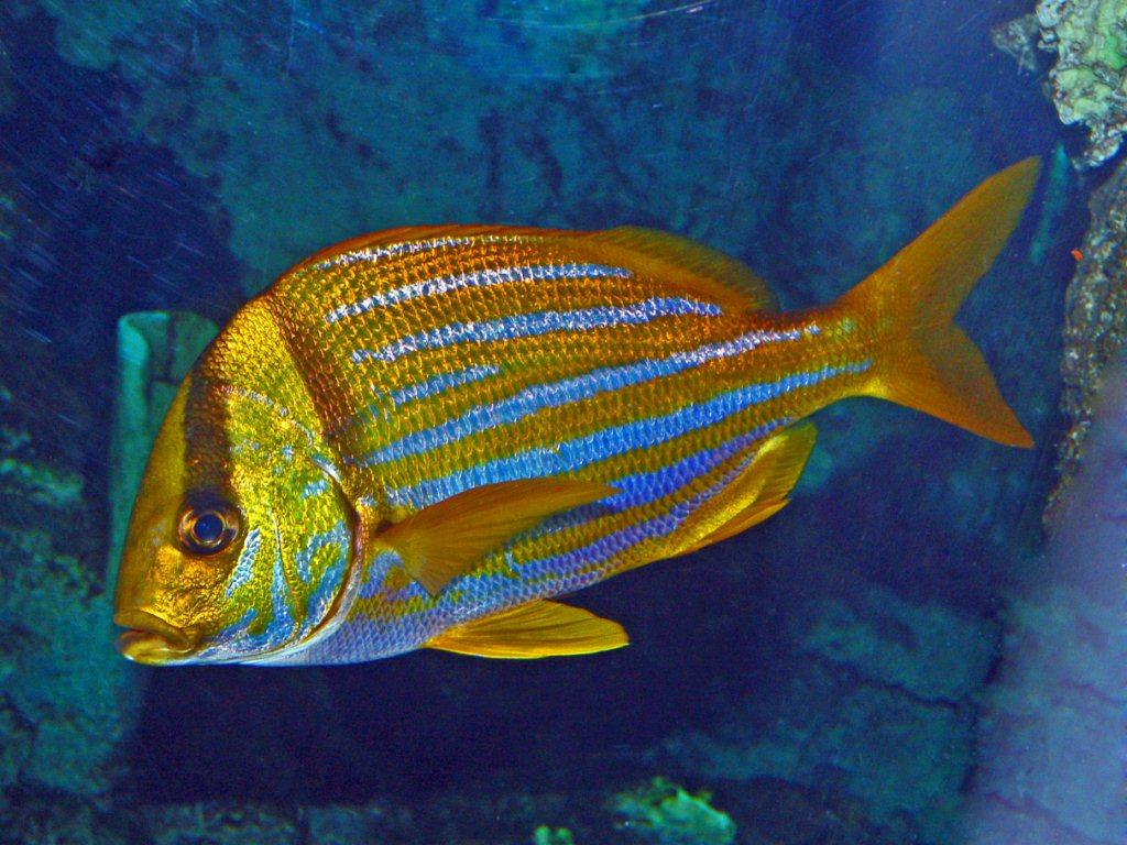 Un pesce mediterraneo natura nel mondo forum for Pesce pulitore acqua dolce