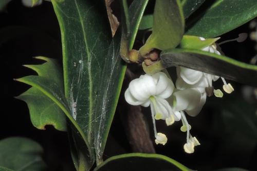 Aiuola pubblica: Osmanthus heterophyllus heterophyllus (Oleaceae)