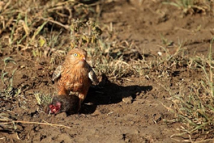 Ngorongoro  crater: Falco rupicoloides