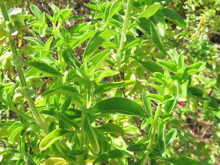 Dai Marsa Alam(Egitto): cv o  ibrido di Ocim sp. (Lamiaceae)