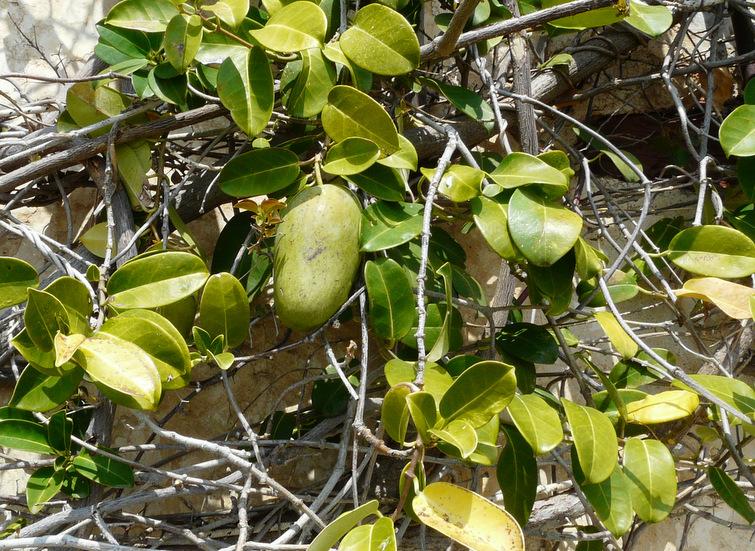 Araujia sericifolia