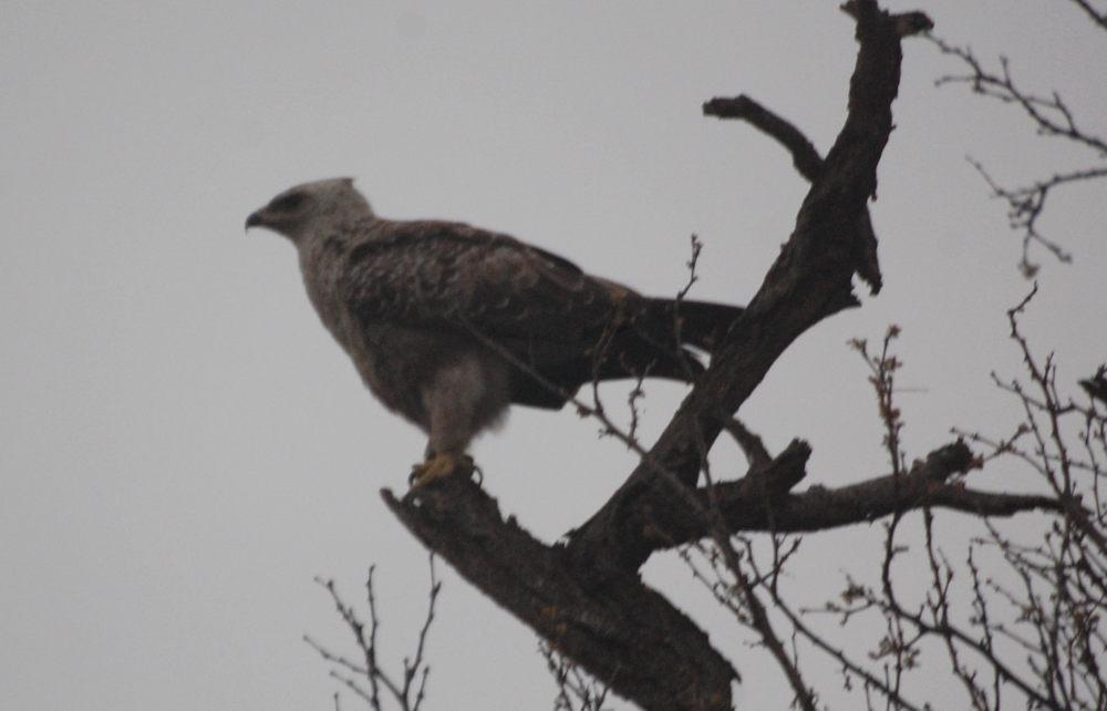 dal Sud Africa:  Aquila cfr. wahlbergi