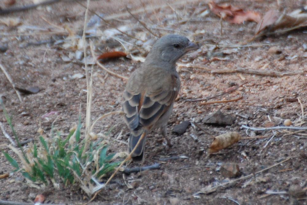 dal Sud Africa: Passera testagrigia meridionale (Passer diffusus)