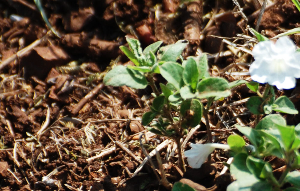 dal Sud Africa:  Ruellia patula (Acanthaceae)