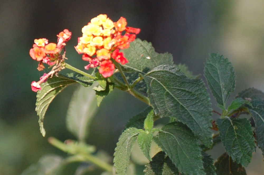 dal Sud Africa:  Lantana camara (Verbenaceae)