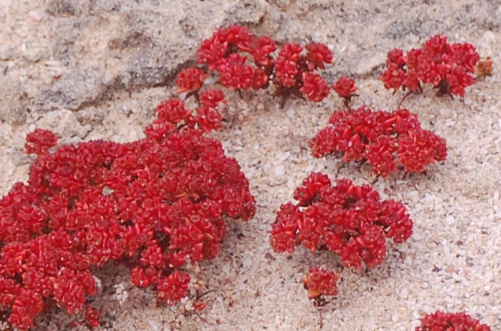 dal Sud Africa: Crassula glomerata (Crassulaceae)