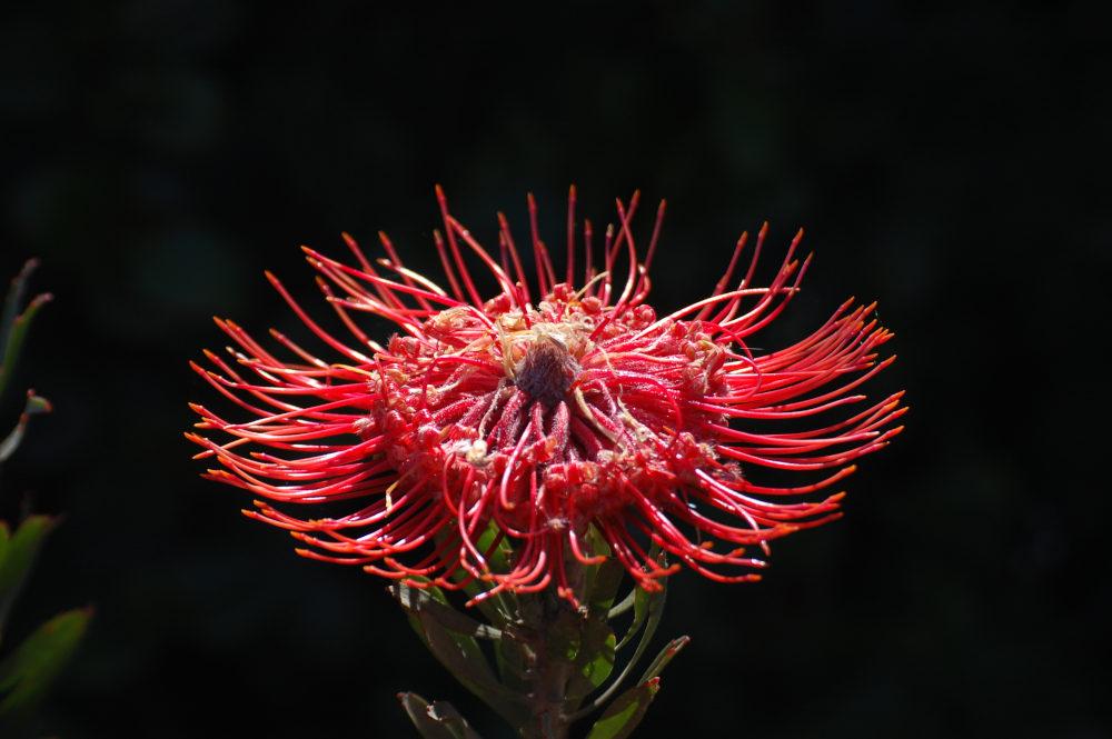 dal Sud Africa: Leucospermum sp. (Proteaceae)