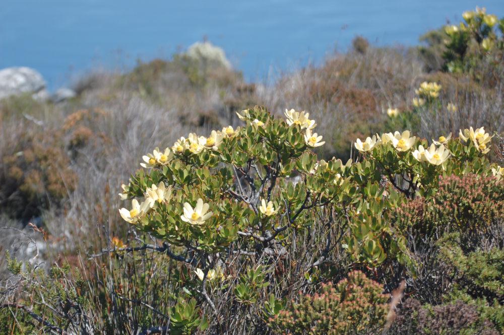 dal Sud Africa: Leucadendron strobilinum (Proteaceae)