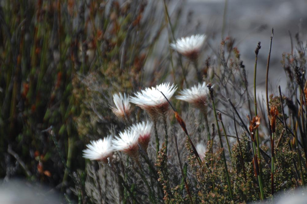 dal Sud Africa: Edmondia sesamoides (Asteraceae)
