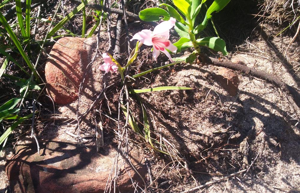 dal Sud Africa: Gladiolus carneus (Iridaceae)