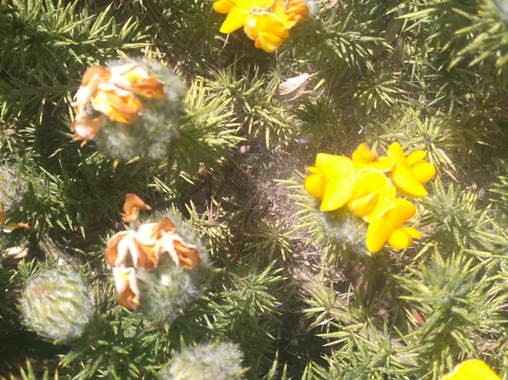 dal Sud Africa: Aspalathus chenopoda (Fabaceae)