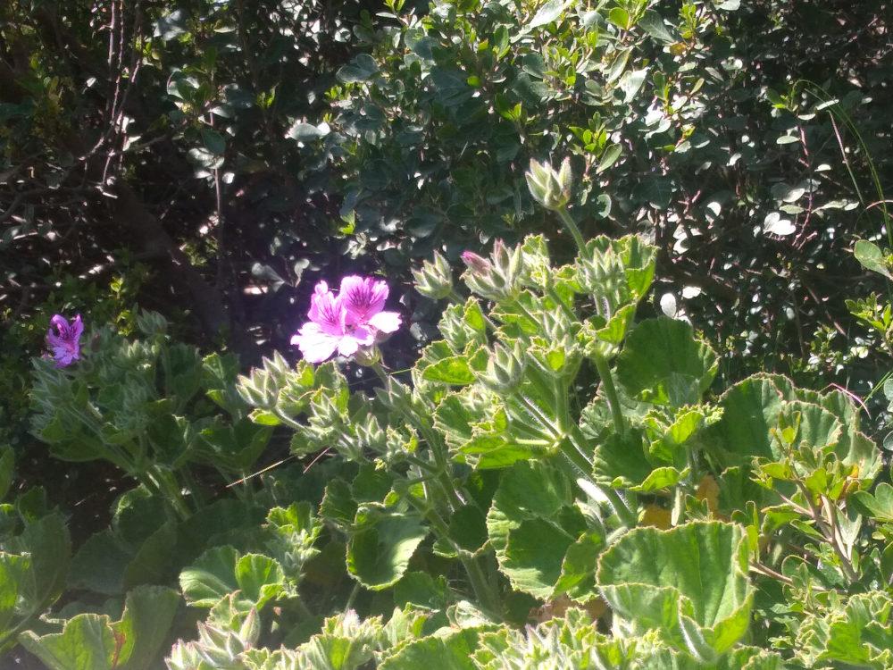 dal Sud Africa: Pelargonium cucullatum (Geraniaceae)
