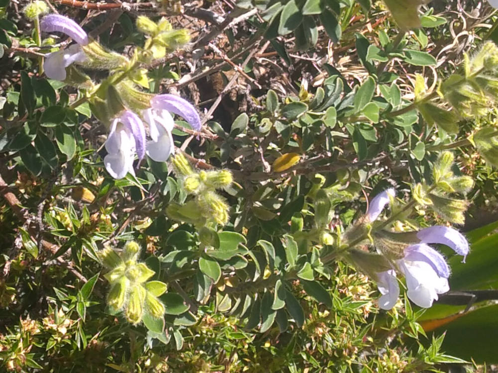 dal Sud Africa: Salvia africana (Lamiaceae)