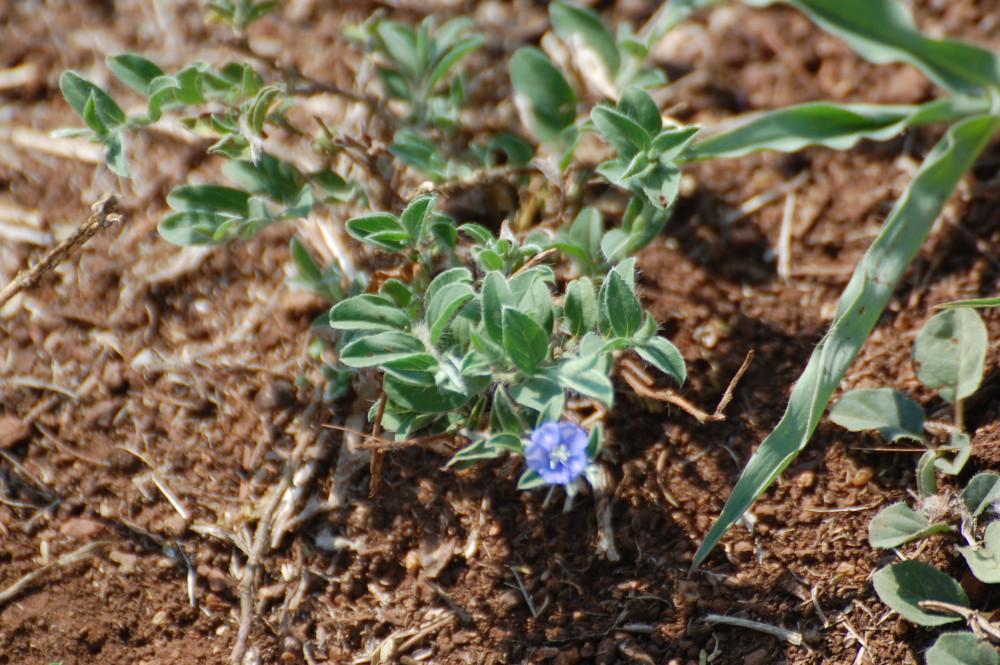dal Sud Africa: Evolvulus alsinoides (Convolvulaceae)