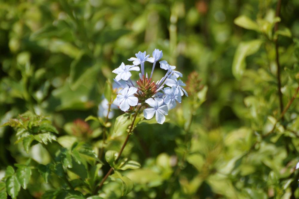dal Sud Africa: Plumbago auriculata  (Plumbaginaceae)