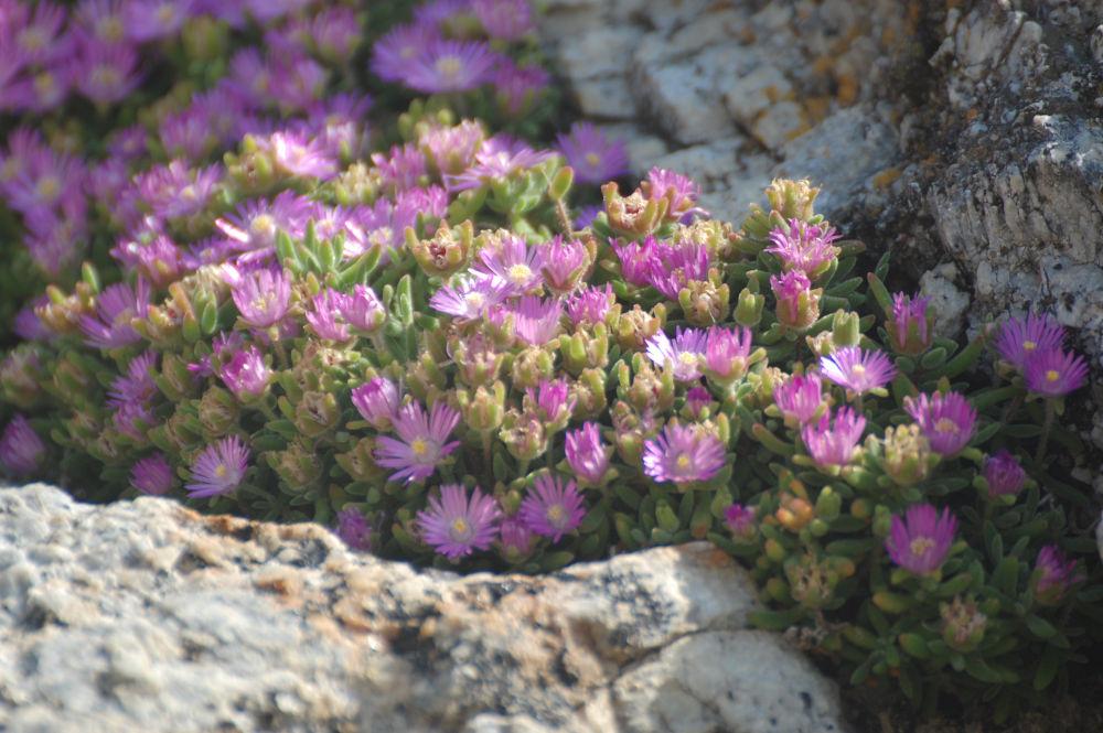 dal Sud Africa: Ruschia crf. macowanii (Aizoaceae)