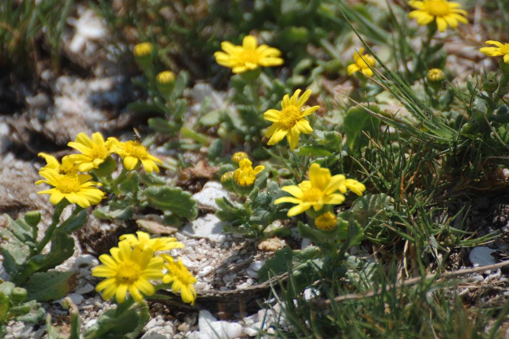 dal Sud Africa: Senecio maritimus (Asteraceae)