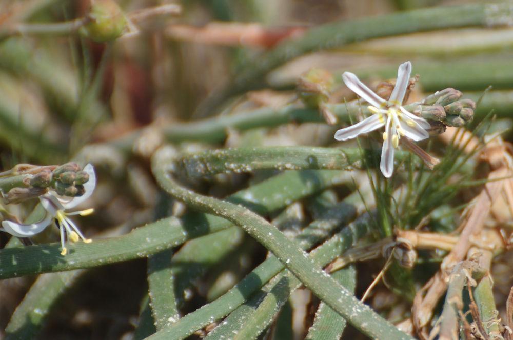 dal Sud Africa:  Trachyandra divaricata (Asphodelaceae)