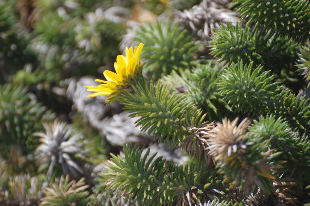 dal Sud Africa: Cullumia squarrosa (Asteraceae)