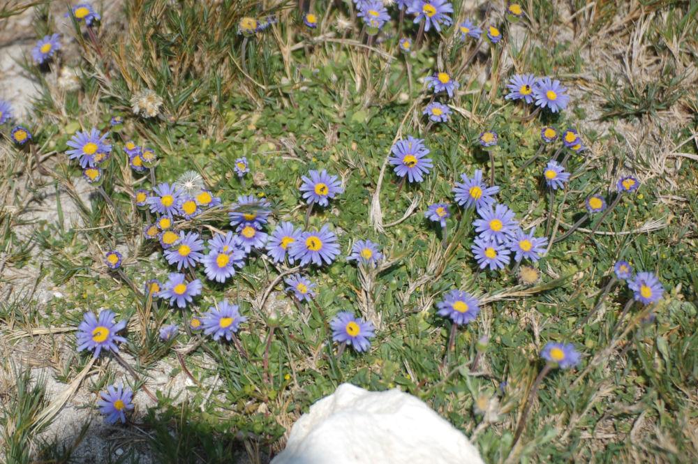 dal Sud Africa: Felicia cfr. aethiopica (asteraceae)