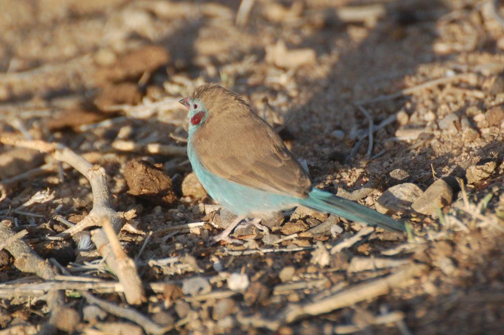 Uccelo dal Tigrai (Etiopia): Uraeginthus bengalus