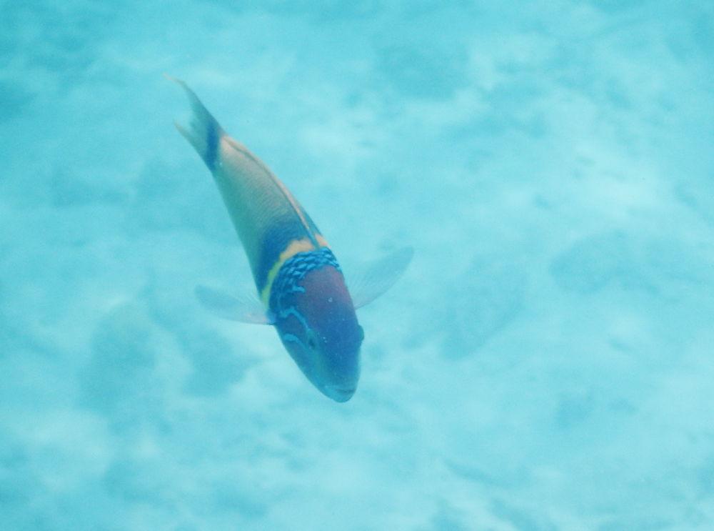 Zanzibar -Pesce: Thalassoma hebraicum