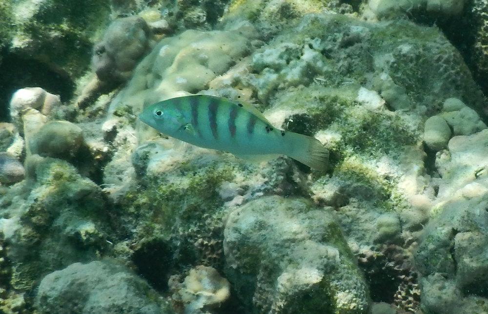 Zanzibar - Altro pesce : Thalassoma hardwicke