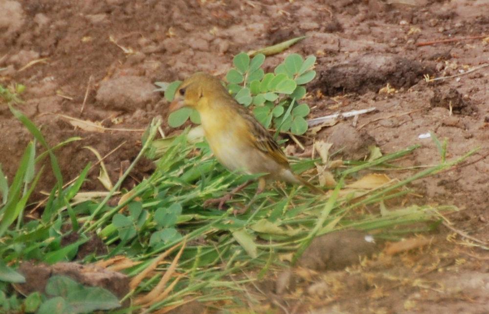 Dancalia - Etiopia uccello 3