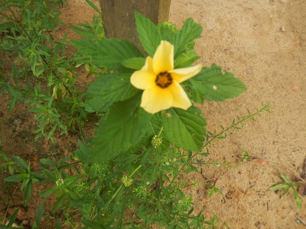 Brasile - nei Lençóis Maranhenses: Sida sp. (Malvaceae)
