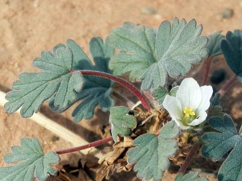 Erodium tibetanum (Geraniaceae) - Mongolia